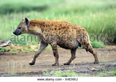 Spotted Hyena, crocuta crocuta, Female walking, Masai Mara Park in Kenya - Stock Photo