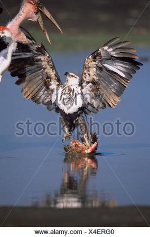 Juvenile African fish eagle {Haliaeetus vocifer} defends Lesser flamingo prey {Phoeniconaias minor} from Marabou storks {Leptoptilos crumeniferos} Lake Nakuru NP, Kenya. - Stock Photo