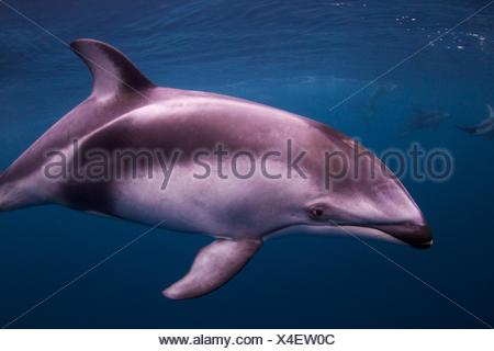 A Pacific white sided dolphin, Lagenorhynchus obliquidens, swims underwater near British Columbia. - Stock Photo