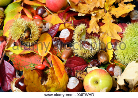 sweet chestnuts and horse chestnuts between autumn leaves on the ground, Germany - Stock Photo