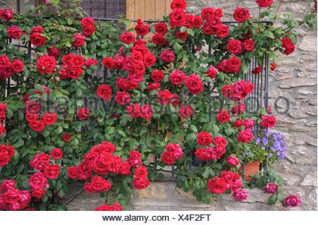 ornamental rose (Rosa spec.), red rambler rose - Stock Photo