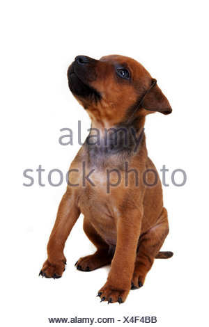 A Patterdale Terrier puppy - Stock Photo