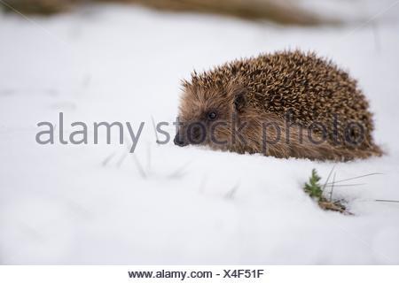 Hedgehog (Erinaceus europaeus), woke up from winter sleep, walking in snow, Bavaria, Germany. - Stock Photo