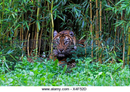 Sumatran tiger (Panthera tigris sumatrae), looking out of bamboo grove, portrait - Stock Photo
