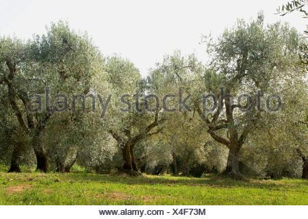 Kultur-Oelbaum, Kultur-Olivenbaum, Oelbaum, Olivenbaum (Olea europaea ssp. sativa), alte Olivenbaeume in der Toskana, Italien, T - Stock Photo