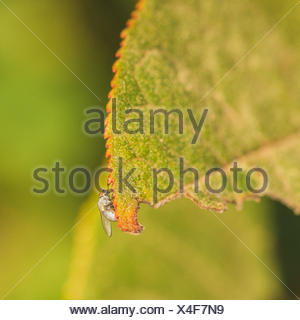 Light Grey Fly on Leaf Edge - Stock Photo