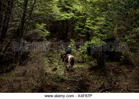 A bagualero, or cowboy who captures feral livestock, rides through a dense forest. - Stock Photo