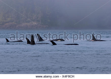 Northern resident killer whales in resting line in front of Plumper Islands off Vancouver Island, British Columbi, Canada, - Stock Photo