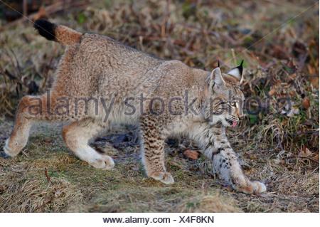 eurasian lynx, lynx lynx, juvenile - Stock Photo