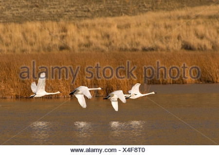 A group of Trumpeter swans (Cygnus buccinator) take flight south to escape winter, near Kamloops, British Columbia, Canada - Stock Photo