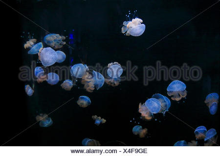 Australian Spotted Jellyfish (Phyllorhiza punctata), swimming jellyfishes, USA, Florida, Sarasota Aquarium - Stock Photo