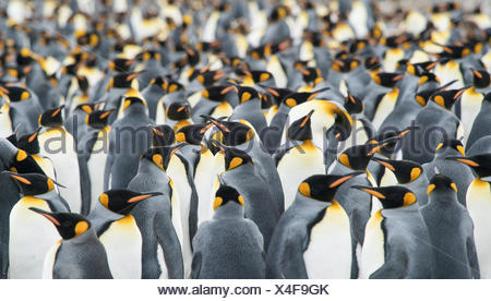 Adult King penguins, Aptenodytes patagonicus, stand in a group together at Gold Harbour. - Stock Photo