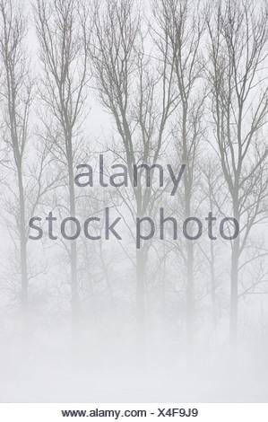 Trees in the mist, Kuppenrhoen, Kuppen Rhoen, Vorderrhoen, Rhoen foothills, Hesse, Germany, Europe - Stock Photo