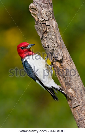 Red-headed Woodpecker (Melanerpes erythrocephalus) perched on a branch near Toronto, Ontario, Canada - Stock Photo