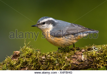 Red-breasted Nuthatch (Sitta canadensis) perched on branch, Victoria, Vancouver Island, British Columbia, Canada - Stock Photo