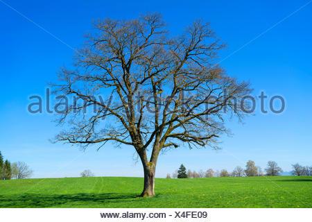 oak (Quercus spec.), leafless single tree in a meadow, Germany, Bavaria, Oberbayern, Upper Bavaria - Stock Photo