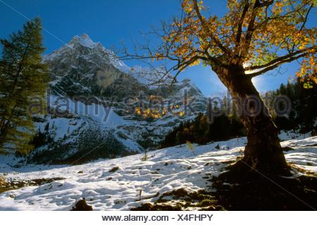 Sycamore Maple (Acer pseudoplatanus) tree, Grosser Ahornboden, Karwendel Range, Tirol, Austria