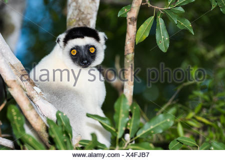 Verreaux's sifaka (Propithecus verreauxi) sits in the tree, Kirindy National Park, Madagascar - Stock Photo