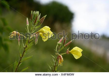 Large-Flowered Evening, Red-Sepaled Evening-Primrose, Large-Leaved Evening Primerose (Oenothera glazioviana, Oenothera erythrosepala), blooming, Germany, Bavaria - Stock Photo