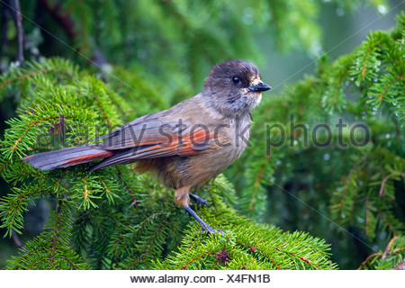 Siberian Jay (Perisoreus infaustus) perched in coniferous tree, Dalarna, Sweden - Stock Photo
