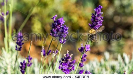 Honey Bee Hovering On Purple Lavender Flower - Stock Photo