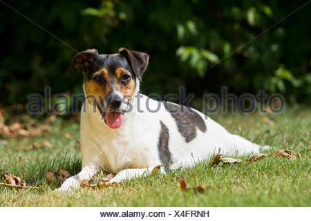 Danish Swedish Farmdog - lying on meadow - Stock Photo