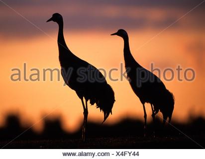 Common Crane Grus grus pair at dusk Hickling Norfolk - Stock Photo