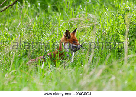 red fox (Vulpes vulpes), parent with caught mouse, Germany - Stock Photo