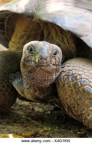 Aldabra Giant Tortoise (Aldabrachelys gigantea), Curieuse Island, Seychelles - Stock Photo