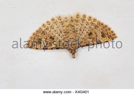 Twenty-plume Moth, Twenty plume moth, Twenty-plumed Moth, Many-plumed moth (Alucita hexadactyla, Alucita polydactyla, Phalaena hexadactyla), hibernation in the house, Germany - Stock Photo