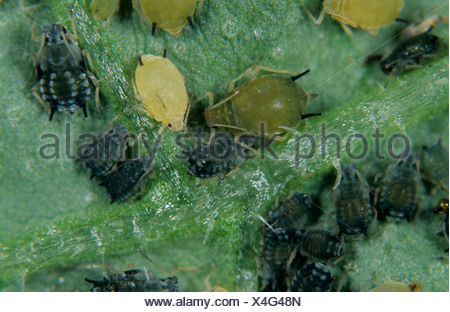 Cotton aphid (Aphis gossypii) infestation on a cucumber leaf - Stock Photo