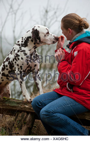 Woman feeding a Dalmatian by hand - Stock Photo
