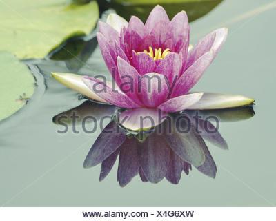 Big lotus flower stock photo 127534123 alamy big lotus flower stock photo mightylinksfo