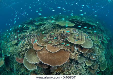 Acropora table and staghorn corals with Bluegreen chromis (Chromis viridis) shoal. Great Barrier Reef, Queensland, Australia. - Stock Photo