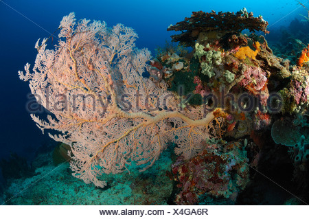 Seafan in Coral Reef, Melithaea sp., Manado, North Sulawesi, Indonesia - Stock Photo
