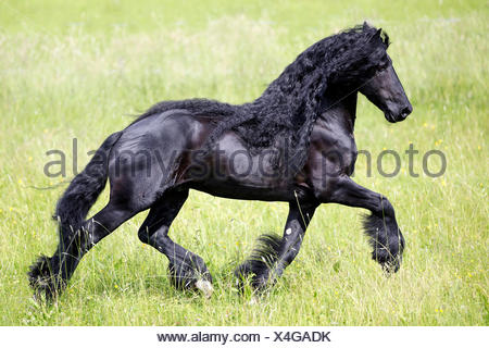 Frisian Horse Black stallion trotting pasture Germany - Stock Photo