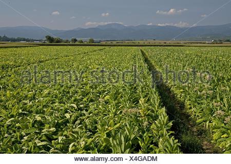 Germany, Baden-Wurttemberg, Black Forest, Freiburg, tobacco field, - Stock Photo