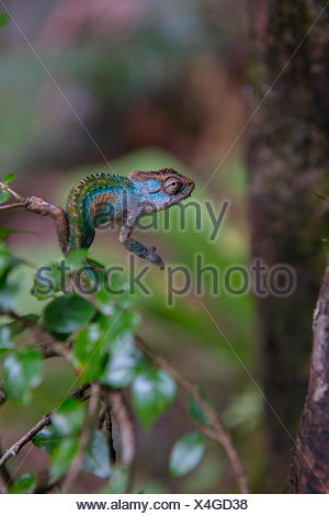 A chameleon at Tugela Gorge in the Northern Drakensberg area. - Stock Photo