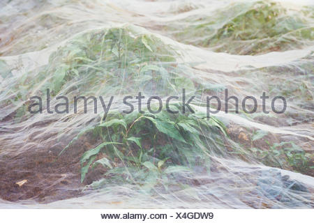 Horticultural fleece covering a growing crop. - Stock Photo