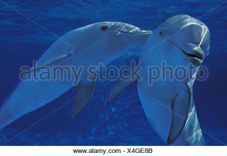 Bottlenose Dolphin, tursiops truncatus - Stock Photo