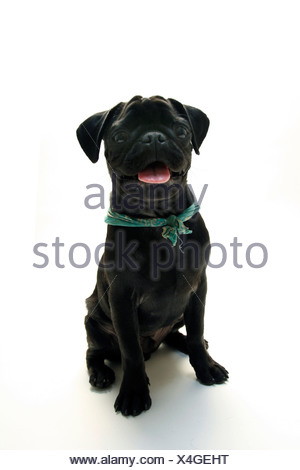 Black Pug puppy with its tongue out - Stock Photo