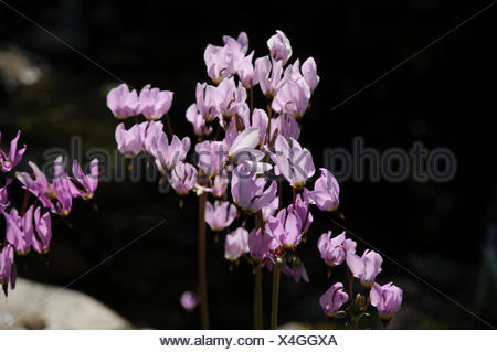 Dodecatheon meadia, Meads shootingstar - Stock Photo