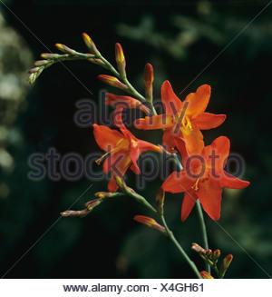 Single flower spike of orange Crocosmia Geoffrey Howard - Stock Photo