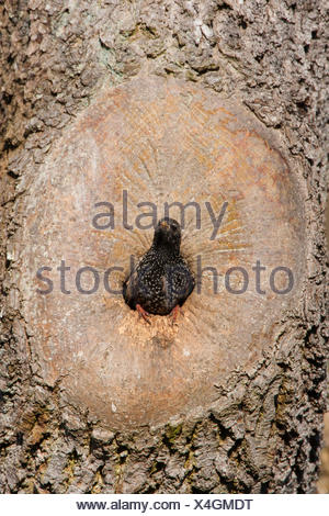 common starling (Sturnus vulgaris), at natural breeding cave, Germany - Stock Photo