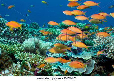 Schooling anthias, Maldives - Stock Photo