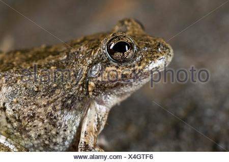 California tree frog (Pseudacris cadaverina) - Stock Photo