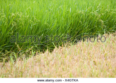 Two rice fields with different types of rice and at varying stages of ripeness, Lombok Island, Lesser Sunda Islands, Indonesia, - Stock Photo