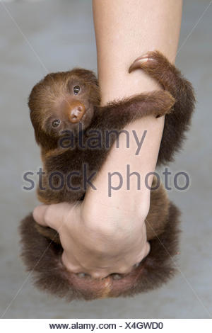 Hoffmann's Two-toed Sloth (Choloepus hoffmanni) orphan baby clinging to person's arms, Aviarios Sloth Sanctuary, Costa Rica - Stock Photo