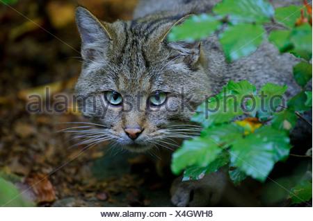 Common Wild Cat, European Wild Cat - Stock Photo