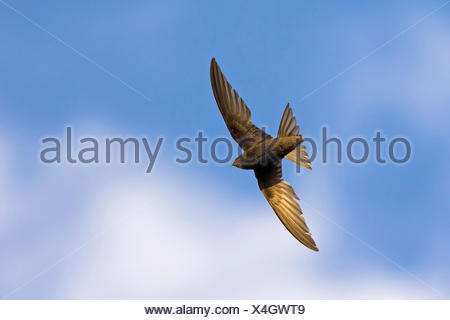 Eurasian swift (Apus apus), in flight, from below, Germany, Baden-Wuerttemberg - Stock Photo